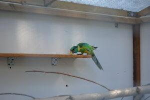 Żywienie papug