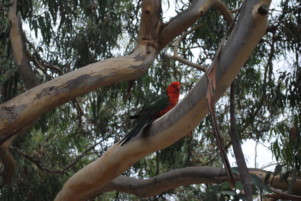 Papuga na wolności