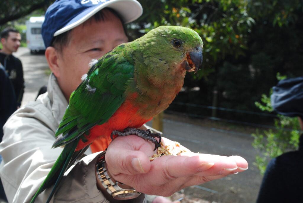 Papuga ręcznie karmiona
