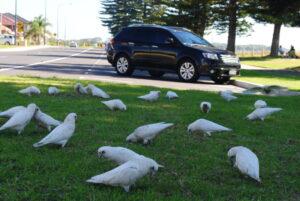 Papugi australijskie