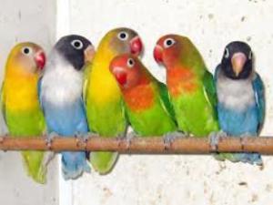 Papugi stadne
