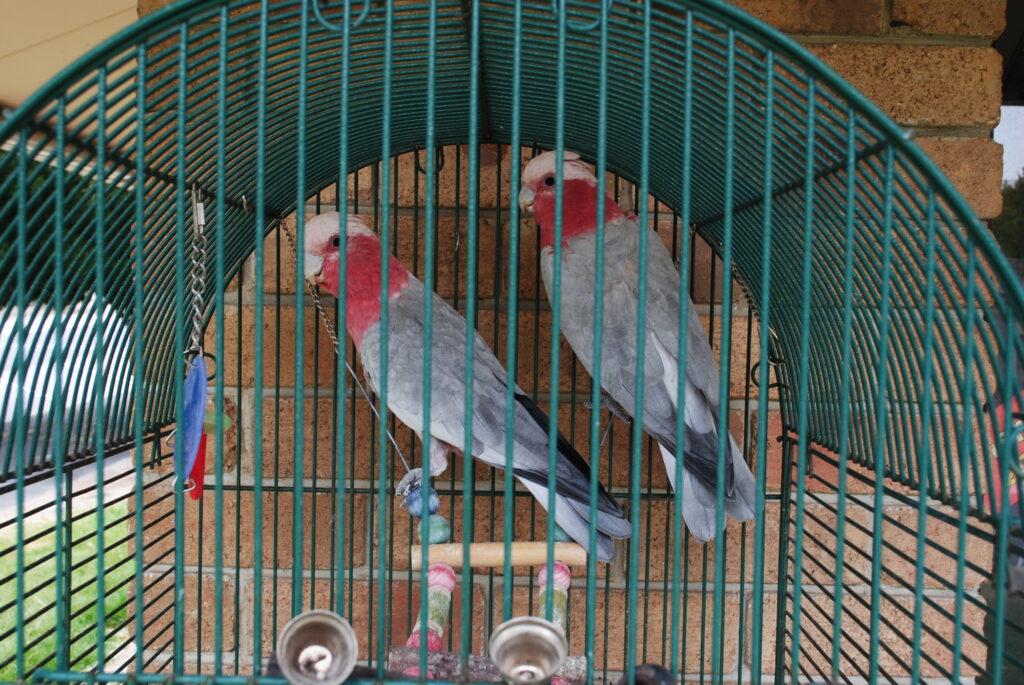Papugi transport