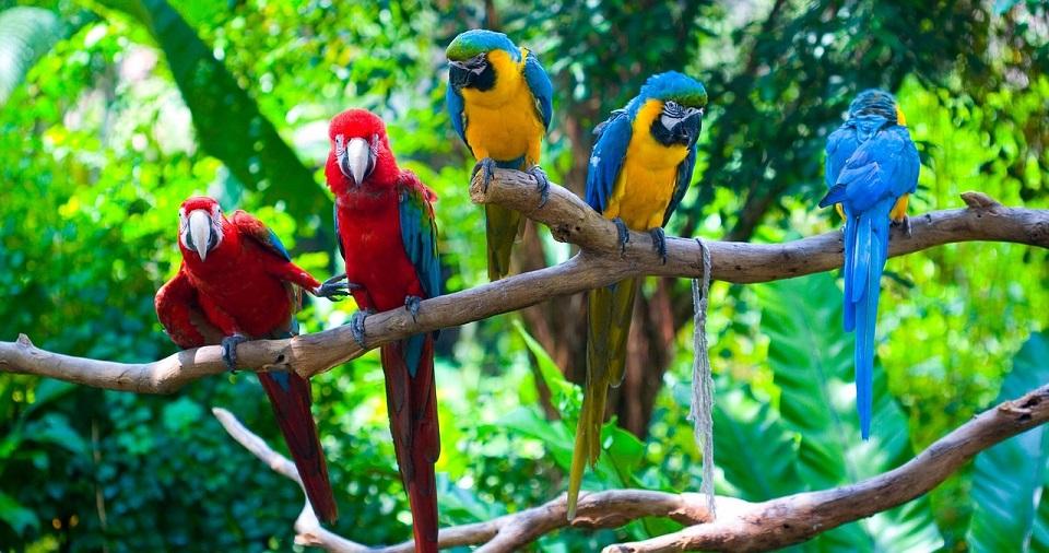 papugi ary