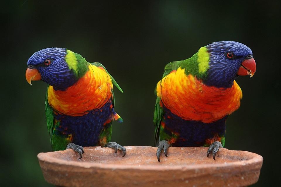 Karma dla papug australijskich