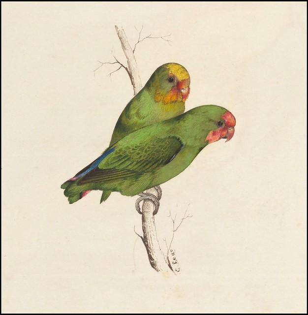 Jak wygląda papuga nierozłączka ?